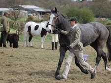 All Rounder horse - 3 yrs 2 mths 16.0 hh Iron Grey - Lincolnshire