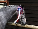 Broodmares horse - 6 yrs 11 mths 13.2 hh Grey - Somerset