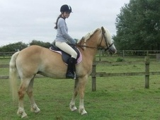 All Rounder horse - 14 yrs 10 mths 14.2 hh Palomino - Norfolk