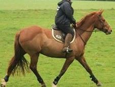 16. 2hh Warmblood Mare for Part Loan