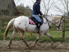 15. 2 6 year old Appy X ID mare