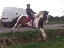 All Rounder horse - 8 yrs 15.3 hh Skewbald - Nottinghamshire
