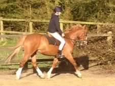 Fantastic All-rounder, Pony Club Or Hunting Pony
