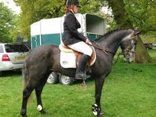 All Rounder horse - 4 yrs 14.2 hh Iron Grey - Cambridgeshire