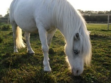 All Rounder horse - 11 yrs 11.3 hh Blue Roan - West Midlands