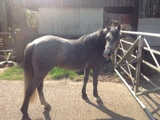 Young Stock  horse - 3 yrs 12.0 hh Blue Roan - Derbyshire