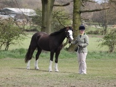 Mountain & Moorland horse - 5 yrs 10 mths 13.2 hh Liver Chestnut ...