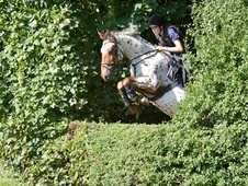 Super Talented Alrounder/eventer With A Wonderful Quiet Level Hea...