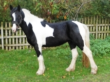 15. 0hh stunning dressage/showing prospect