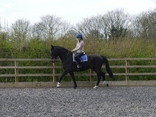 All Rounder horse - 6 yrs 16.0 hh Bay - Leicestershire