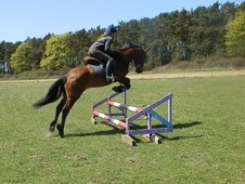 All Rounder horse - 4 yrs 11 mths 14.1 hh Bay - Norfolk