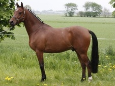 Dressage horse - 5 yrs 14.3 hh Bay - Cambridgeshire