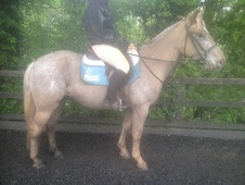 All Rounder horse - 4 yrs 14.0 hh Appaloosa - Oxfordshire