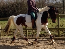 14. 2, 5 year old, skewbald gelding