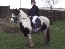 Cobs horse - 12 yrs 14.3 hh  - South Humberside
