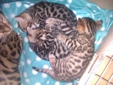 Brown spotted (Rosetted) Bengal Kittens Sired By Imperial Grand C...