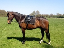 All Rounder horse - 6 yrs 16.3 hh Bay - Kent