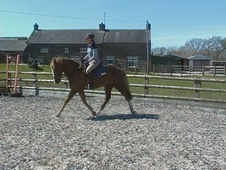 All Rounder horse - 4 yrs 16.0 hh Chestnut - Cheshire