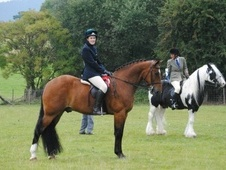 All Rounder horse - 12 yrs 4 mths 15.3 hh Bay - Herefordshire