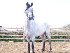 All Rounder horse - 3 yrs 14.2 hh Grey - Limerick