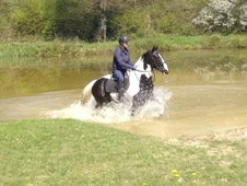 Potential young sports horses horse - 4 yrs 16.1 hh Coloured - Kent
