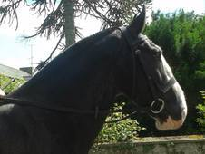 Safe and Sensible Irish Hunter/Show Cob