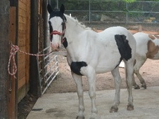 All Rounder horse - 4 yrs 16.0 hh Piebald - South Yorkshire