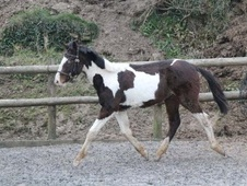Young Stock  horse - 1 yr 6 mths 16.0 hh Skewbald - Cornwall