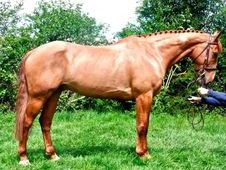Hunters horse - 10 yrs 16.2 hh Chestnut - Sussex