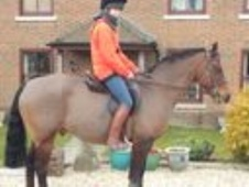 Lovely Connemara/thoroughbred gelding, Hampshire - Hampshire