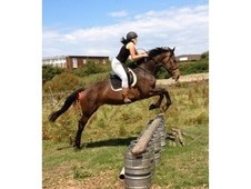 Honey Bee Lovely Welsh D X Mare