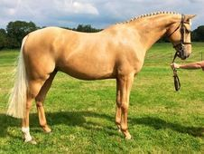 Show Jumpers horse - 7 yrs 16. 1 hh - East Sussex
