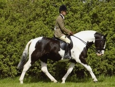 Cobs horse - 8 yrs 15.1 hh Piebald - South Yorkshire