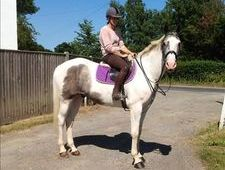 All Rounder horse - 5 yrs 16.0 hh Dapple Grey - Kent