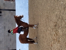 Pretty full up 14. 2 chestnut mare