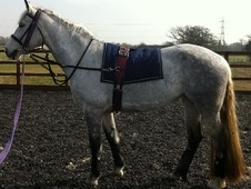 All Rounder horse - 8 yrs 15.2 hh Grey - West Sussex