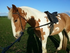 Coloured horse - 4 yrs 15.0 hh Skewbald - Cornwall