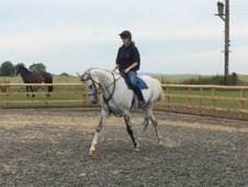 Reduced!! 16. 3hh 9yo Grey Gelding For Sale
