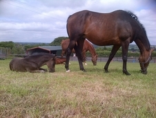 Well 2 Quality Well Bred Broodmares For Sale