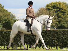 16. 3hh full Irish draught mare out of grade A Rebelara