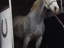 Hunters horse - 4 yrs 1 mth 16.0 hh Grey - Essex