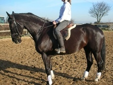 All Rounder horse - 15 yrs 16.3 hh Black - Lancashire