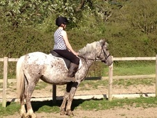 All Rounder horse - 4 yrs 14.1 hh Appaloosa - Gloucestershire