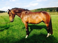 Bay Filly 4years Old, 16hh, Connemara X Tb. West Yorkshire