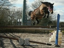Show Jumpers horse - 7 yrs 14.2 hh Bay - Lancashire
