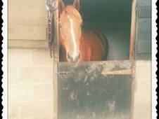 16. 3 Thoroughbred Gelding For Sale