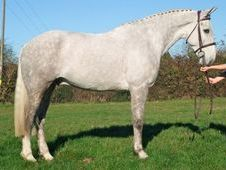 Hunters horse - 6 yrs 16.3 hh Dapple Grey - Sussex