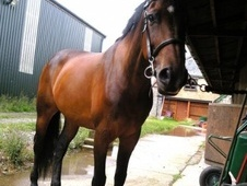 All Rounder horse - 10 yrs 16.1 hh Bay - South Glamorgan
