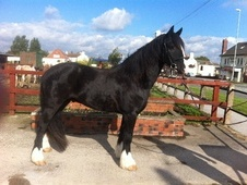 Cobs horse - 6 yrs 2 mths 15.1 hh Black - West Yorkshire