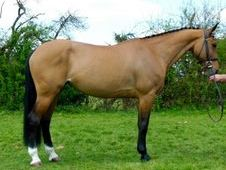 Sports Horses horse - 10 yrs 16.0 hh Bay - Sussex